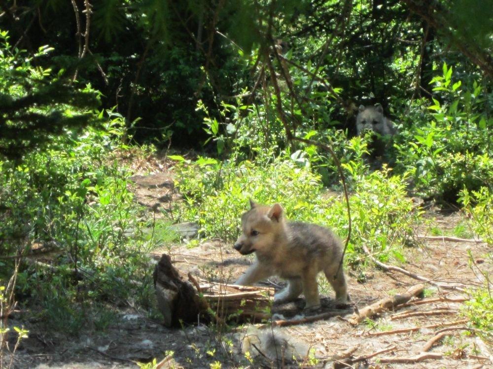 Louveteau du parc à loup au Québec au Canada
