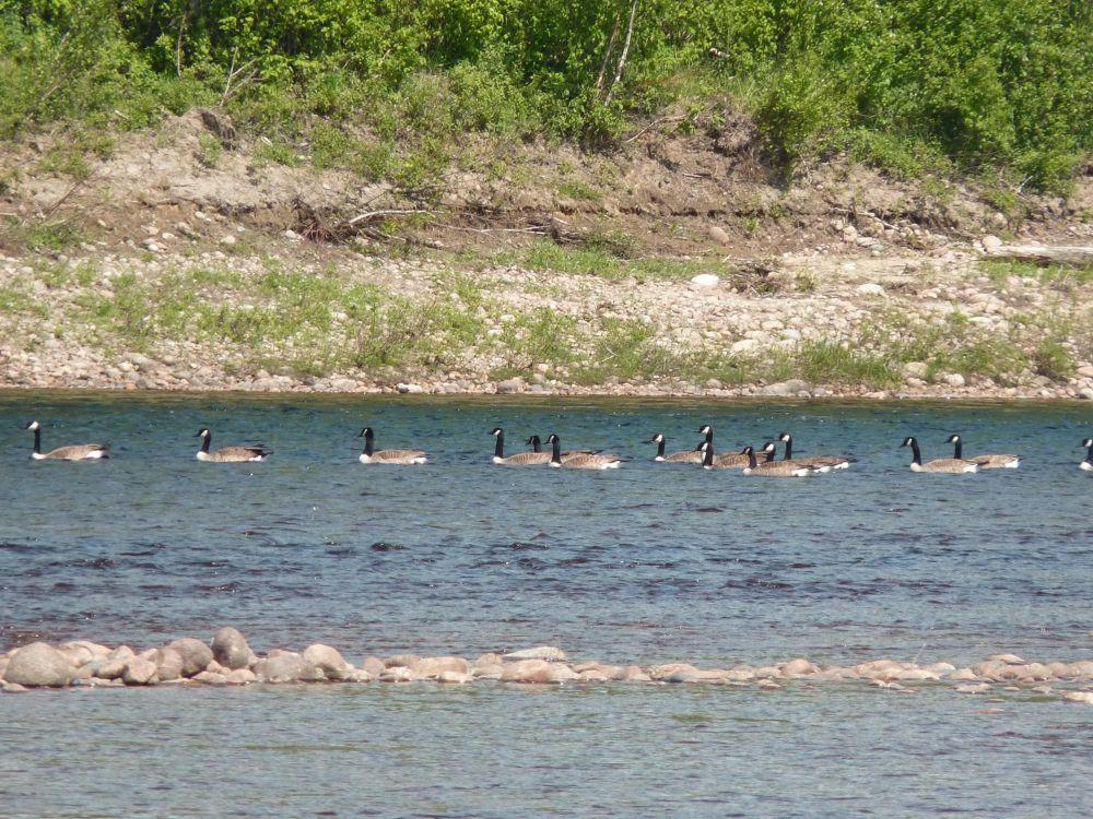 Des oies dans la rivière au Québec au Canada