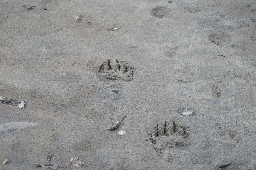Sur les traces de pas de l'ours noir au Québec au Canada