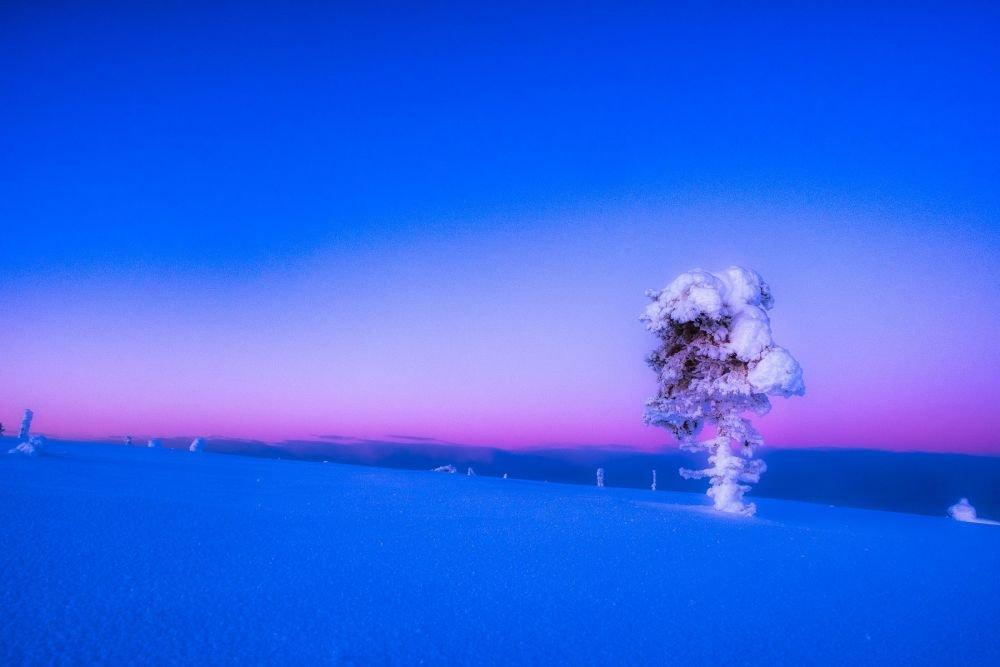 Arbre candélabre en Laponie en plein hiver