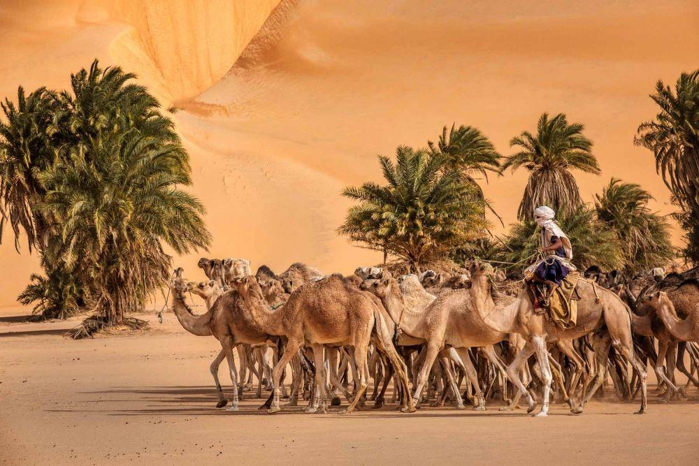 Troupeau de chameaux dans le Sahara lors d'un voyage photo en Mauritanie