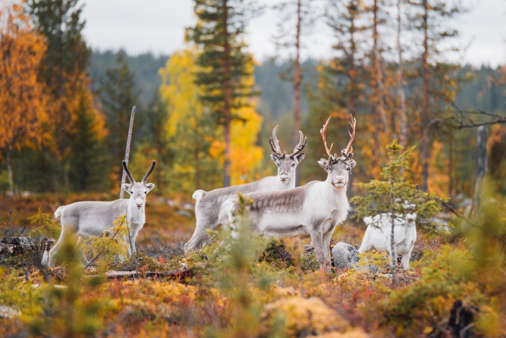 Un troupeau de rennes en plein été indien, en Laponie