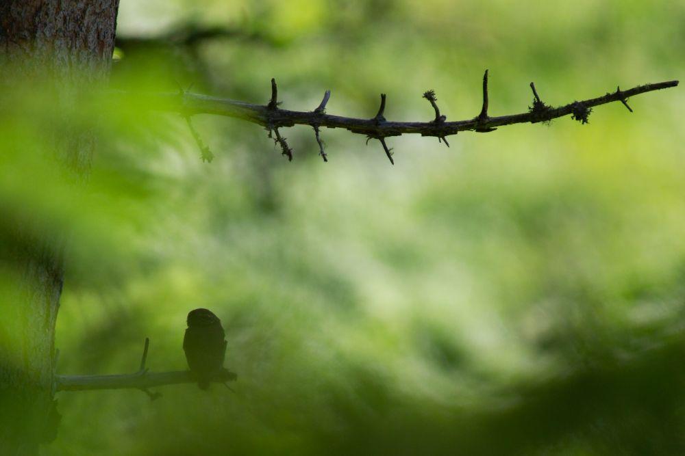 Chouette chevêchette photographiée dans la forêt du Champsaur