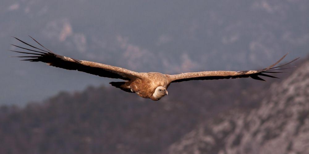 le vol des vautours est toujours majestueux à observer