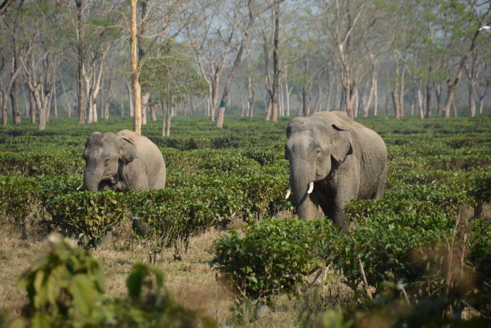 éléphants dans les plantations de thé près de Jorhat