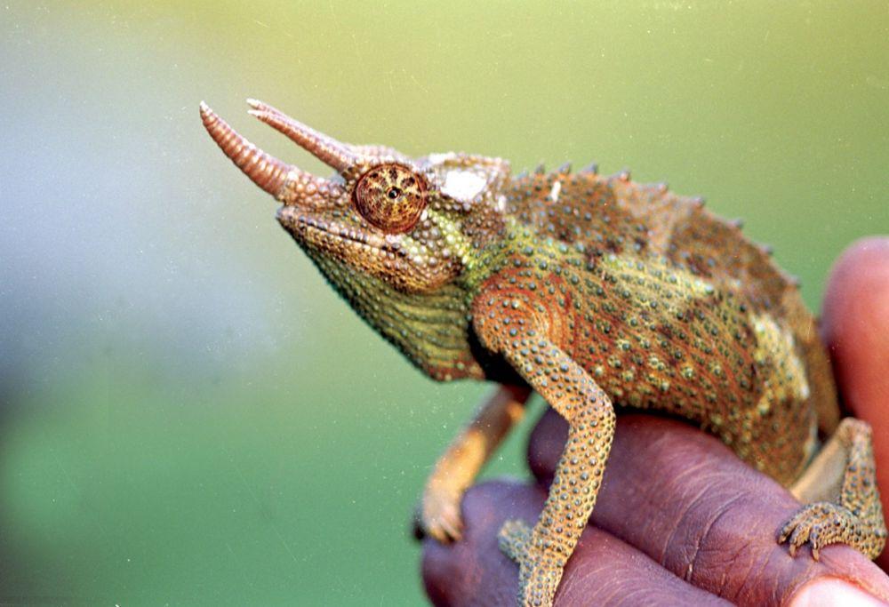 Caméléon dans la brousse, Kenya