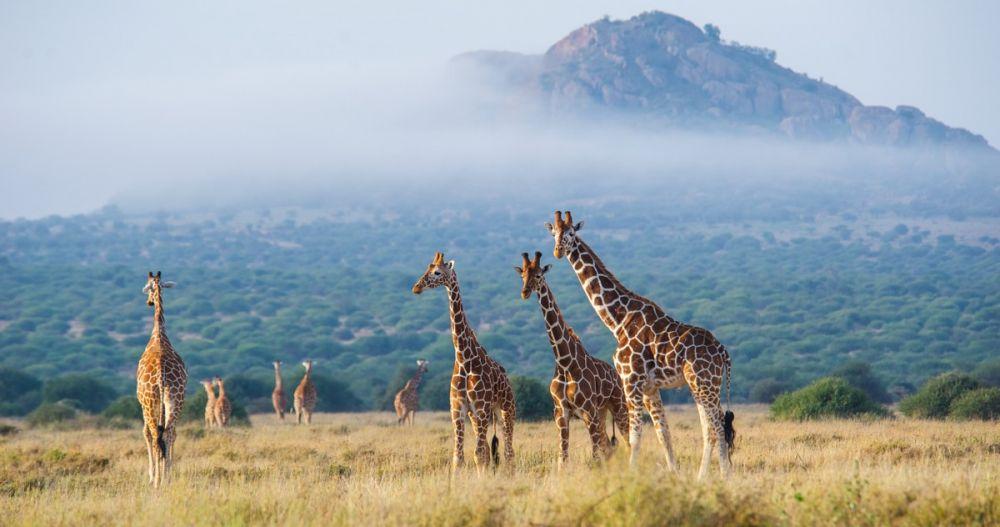 Giraffes observées lors du safari à pied, Kenya