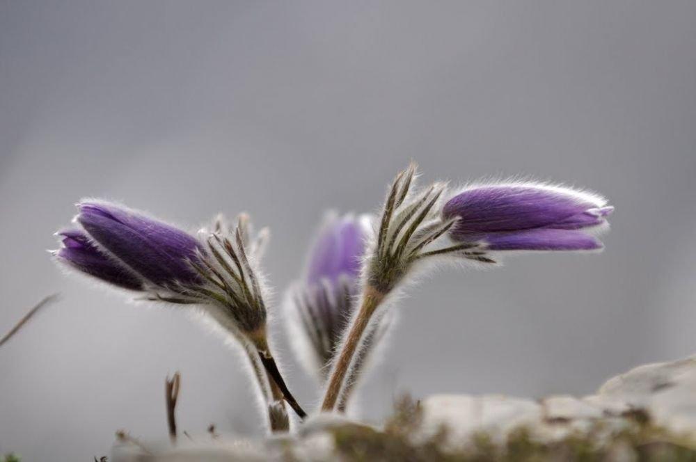 Anémones pulsatilles au printemps dans les alpes