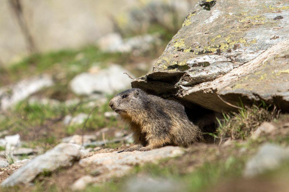 Jeune marmotte au printemps dans les Alpes