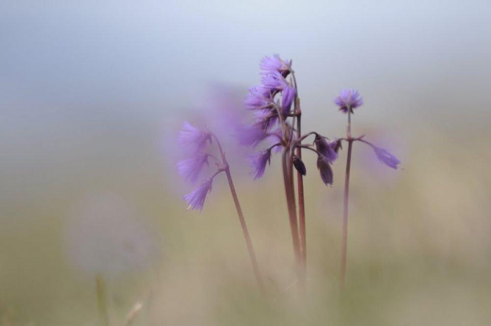 Bouquet de soldanelles des Alpes au printemps