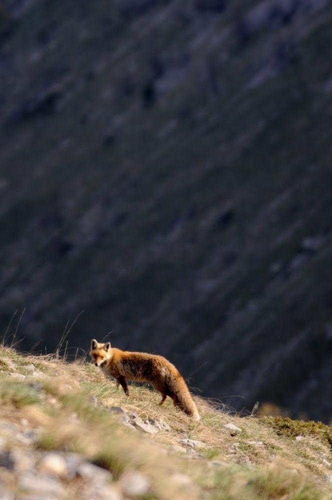 renard surpris lors d'une randonnée au printemps
