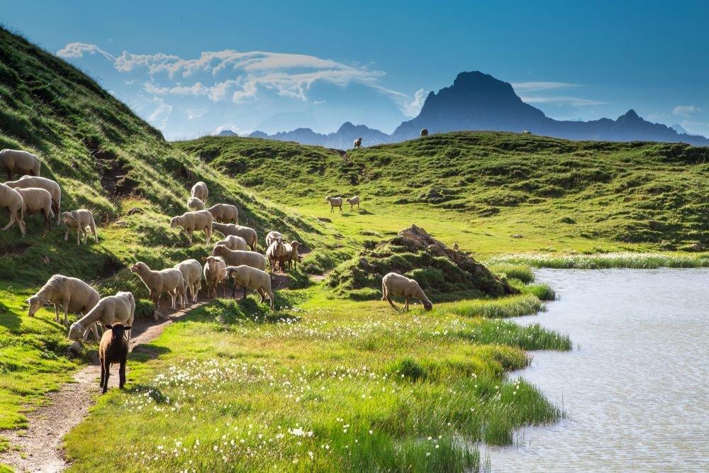 Brebis dans la montagne, Alpes du Sud