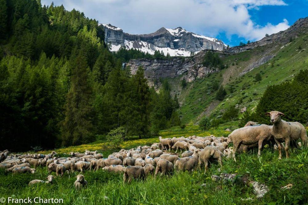 le troupeau de brebis vient d'arriver dans l'alpage