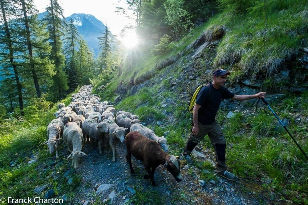berger et son troupeau de brebis dans les Alpes du Sud