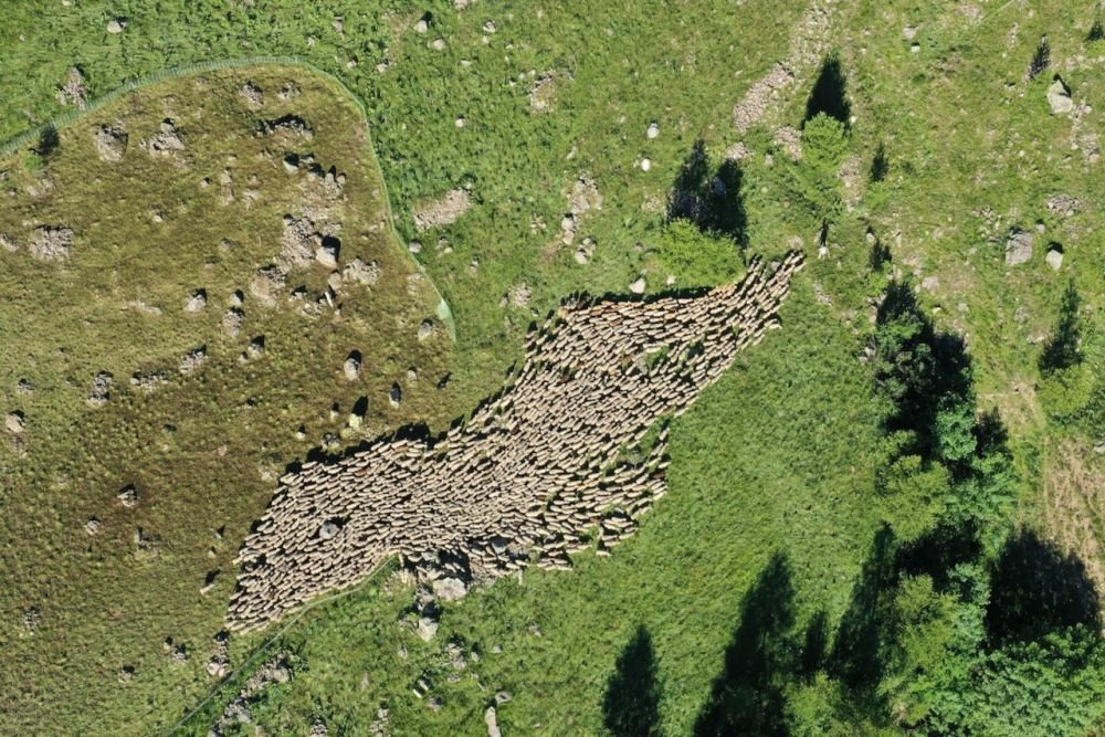 Le troupeau de brebis quitte le parc de nuit guidé par le berger