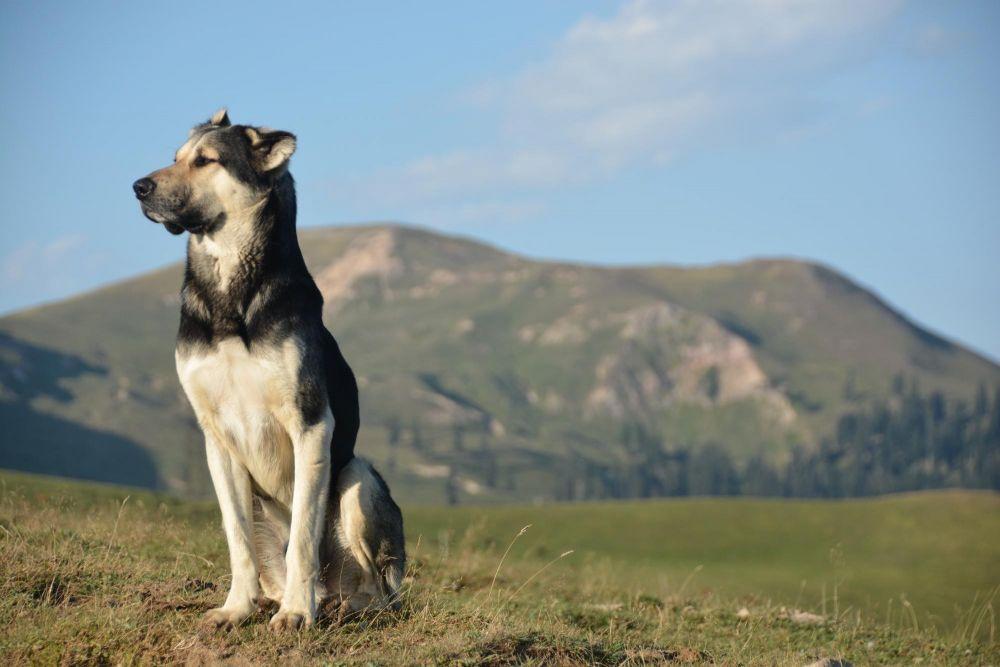 Géorgie, chien de berger