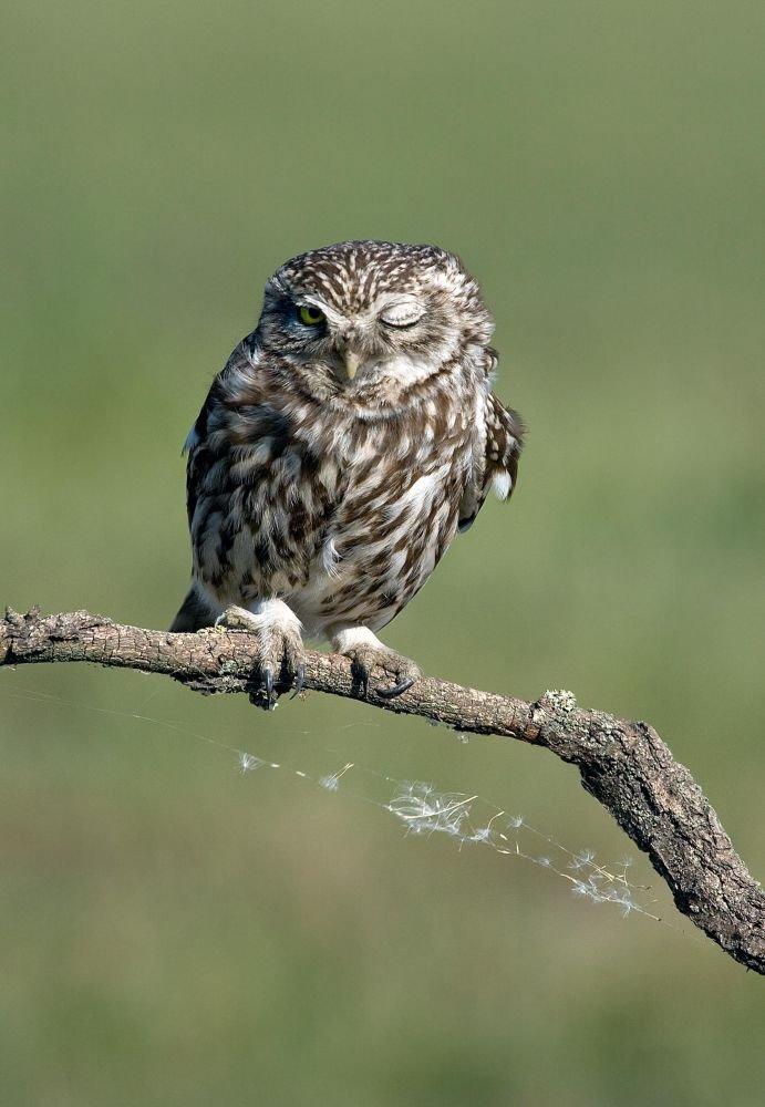 Little Owl by Attila Szilágyi