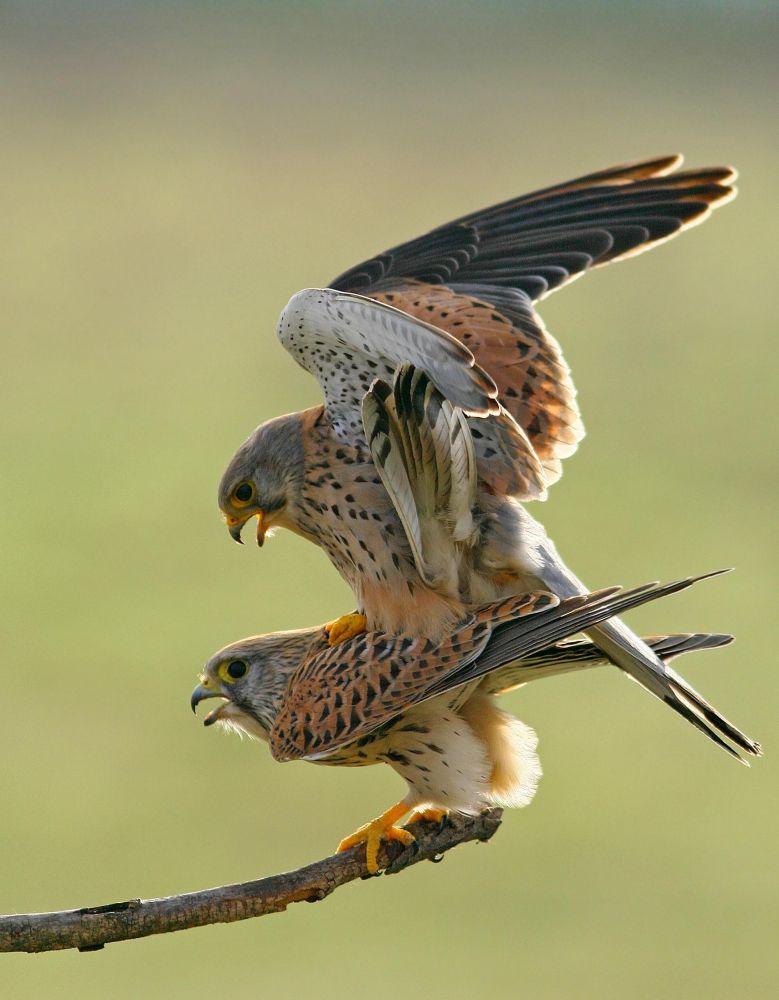 Common Kestrel mating by Attila Szilágyi