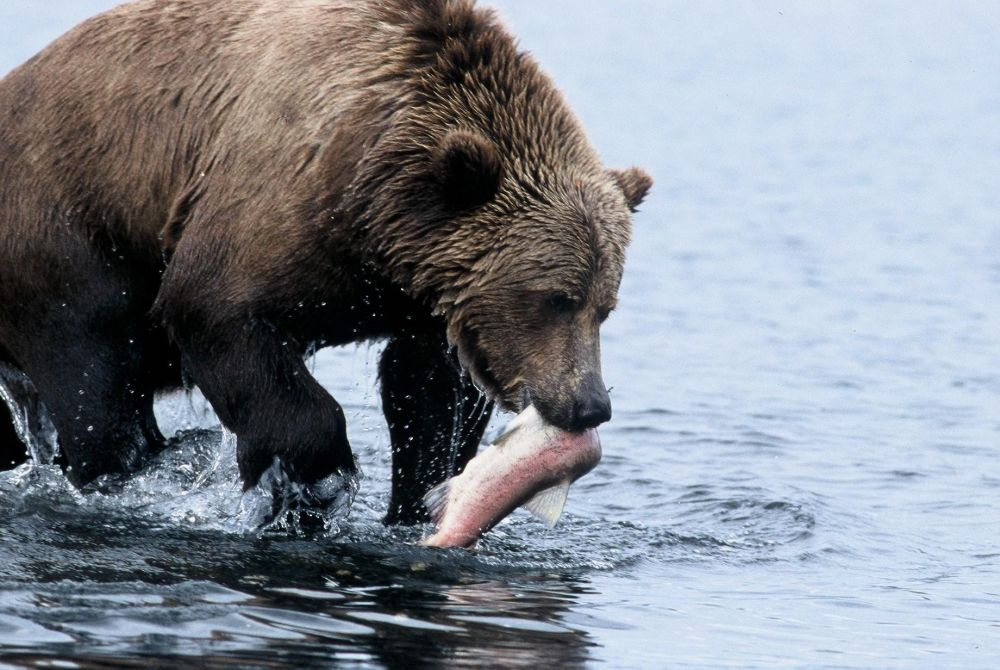 Laurent Cocherel Kodiak Alaska