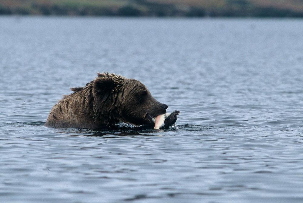 Laurent Cocherel Kodiak Alaska (3)