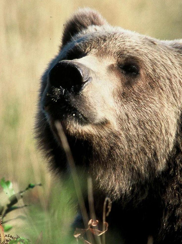 portrait d'un ours kodiak