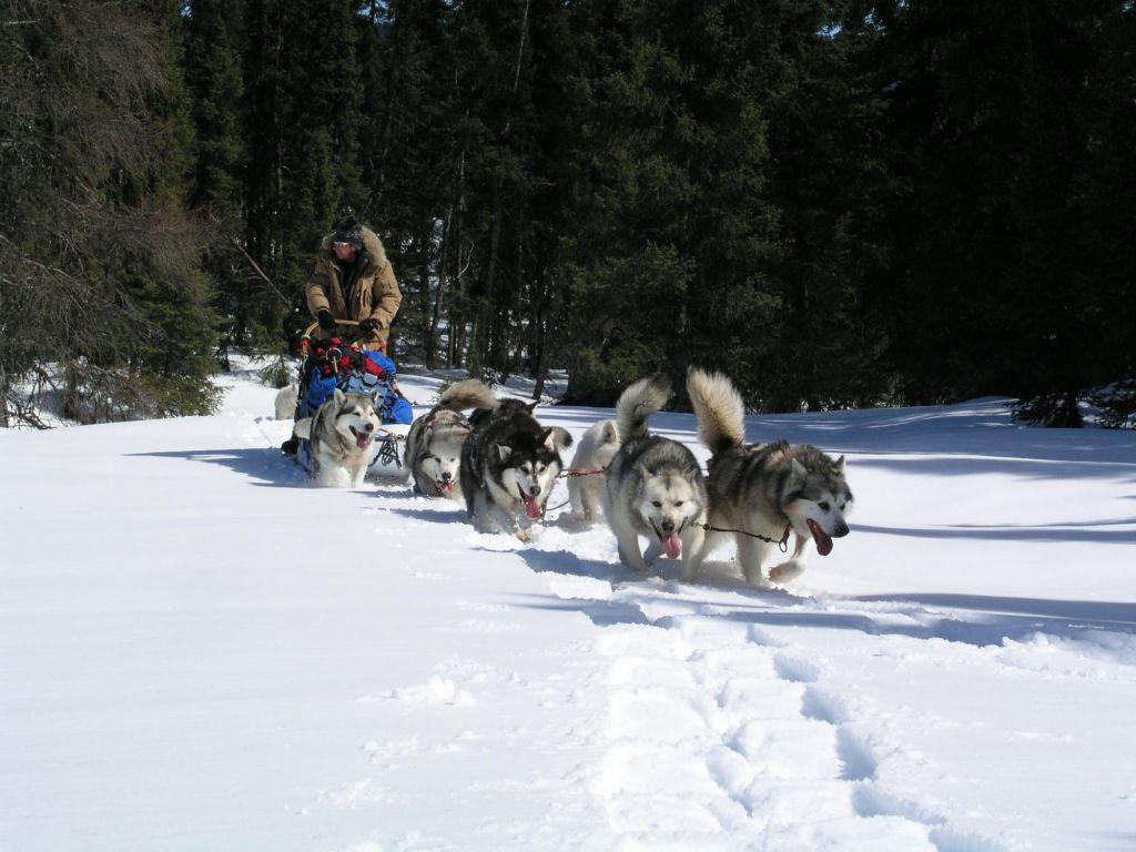 traîneau à chien en mouvement