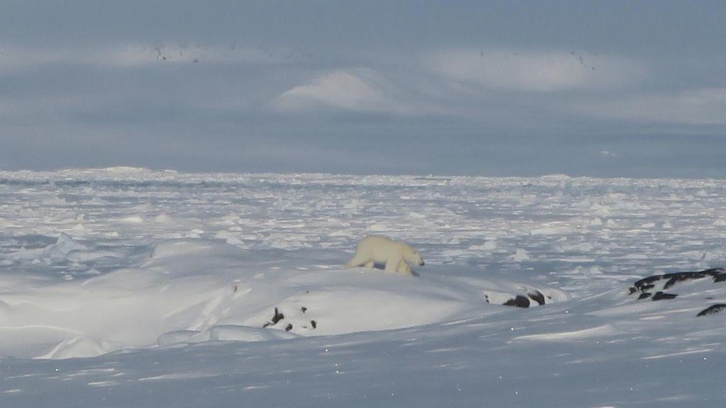 ours polaire glissant sur une pente enneigée
