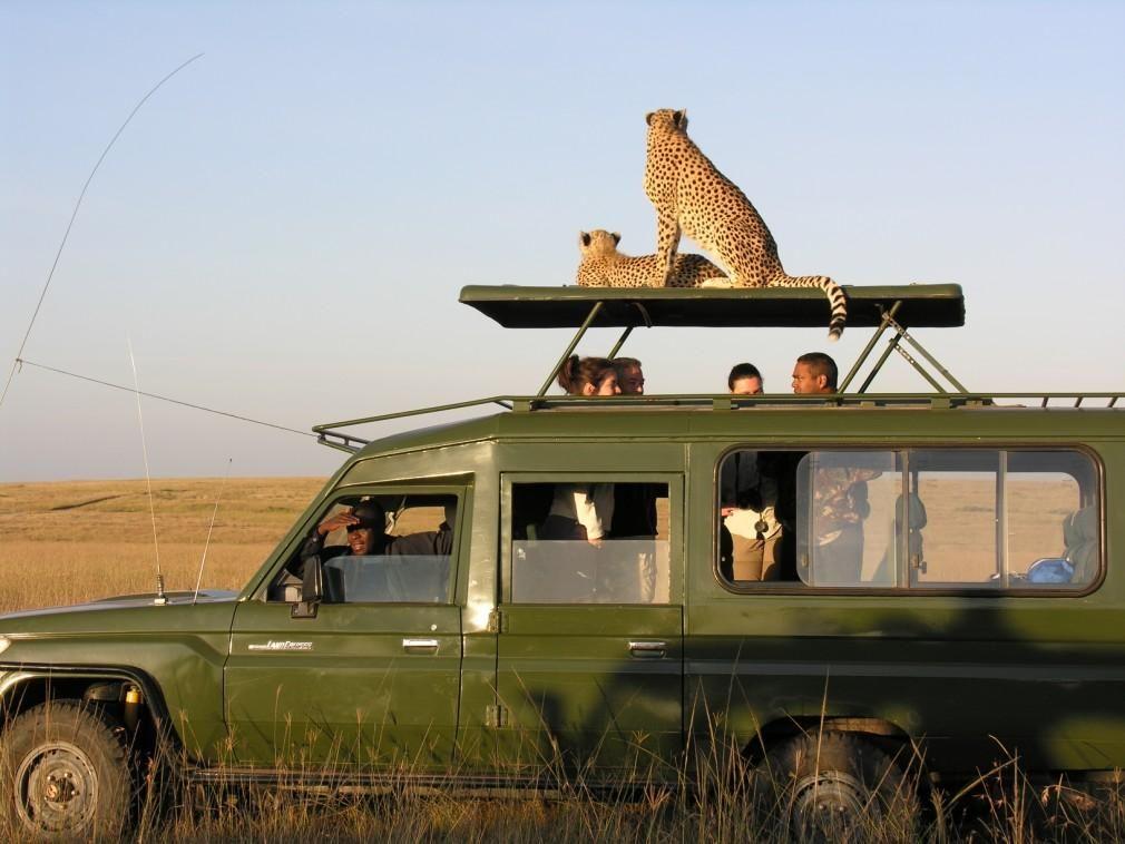 panthère assise sur le toit d'un véhicule spécial safari