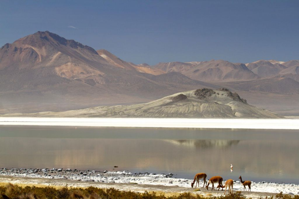 vigogne au bord d'une lagune du salar de Surire, réserve de Lauca, Chili