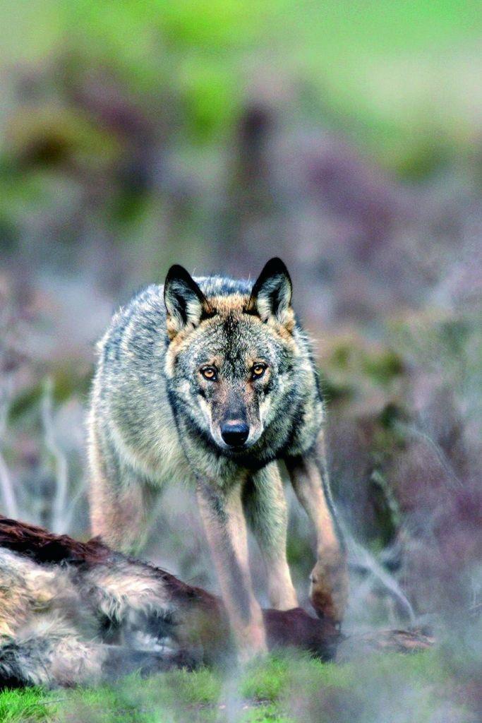 Grands prédateurs : ours et loups