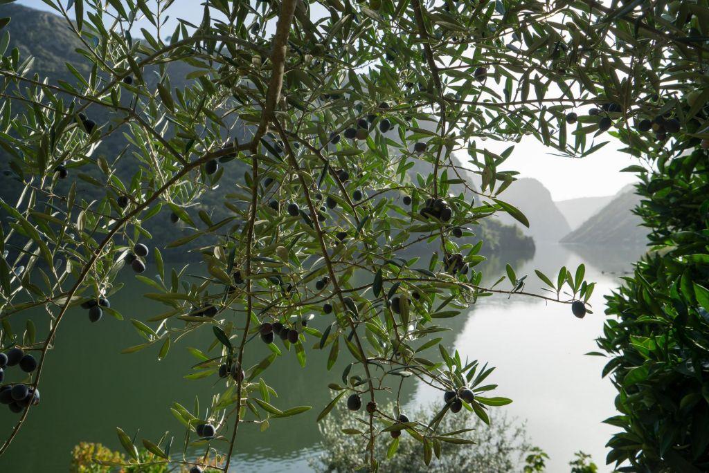 vue d'un olivier sur le Douro