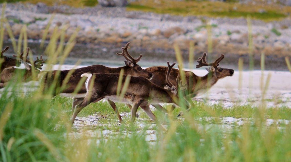 troupeau de rennes dans les prés