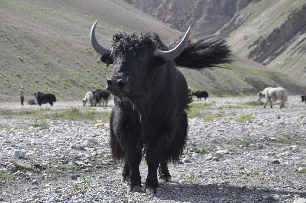 yak en chemin vers les pâturages