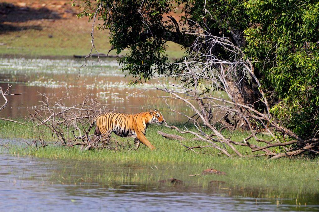 Tiger break !