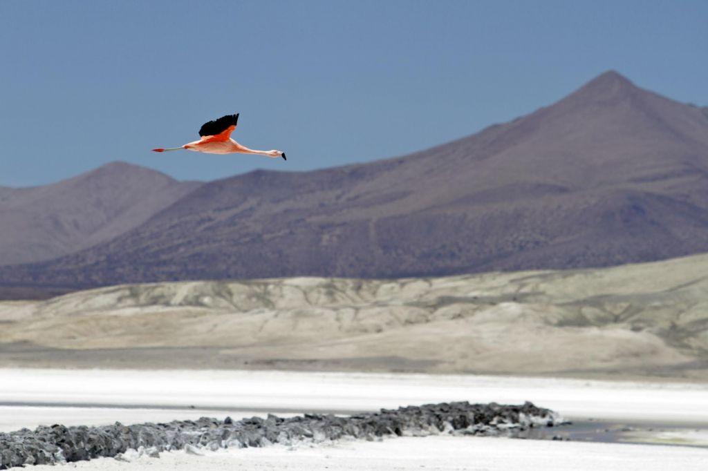 Flamand rose survolant l'Altiplano bolivien