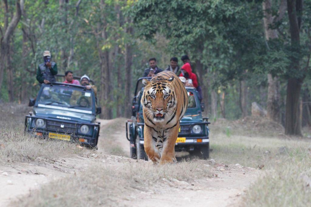 Focus tigre du Bengale