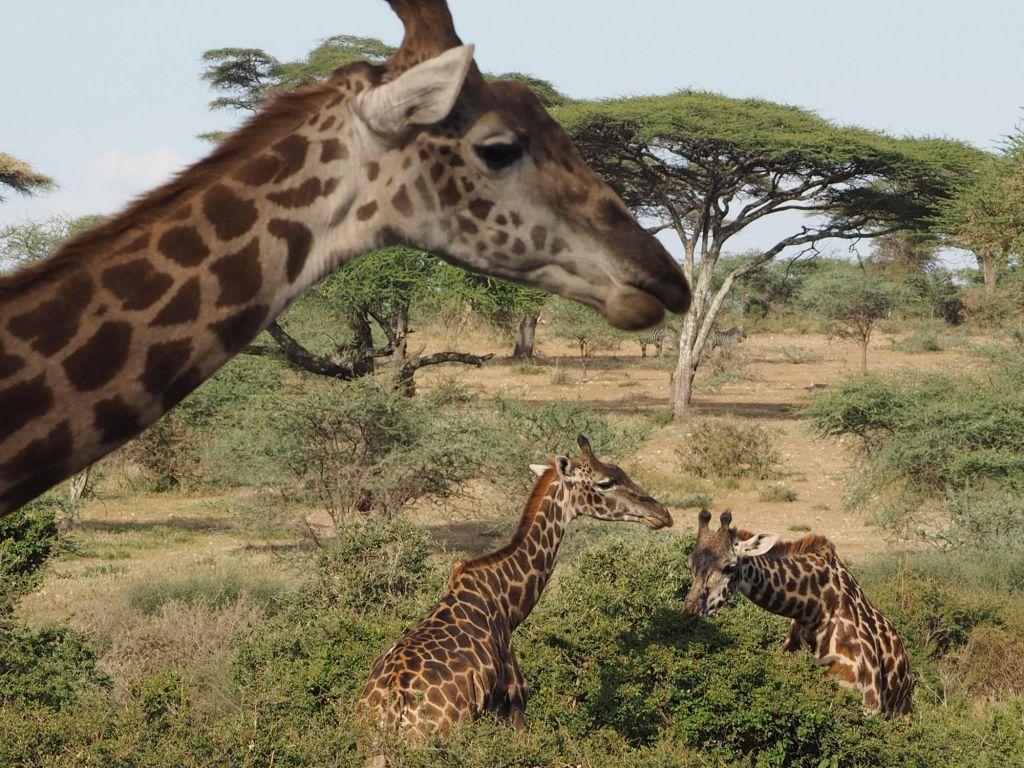 trois girafes en pleine savane