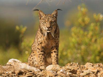 Lynx ibérique : affûts photo exclusifs