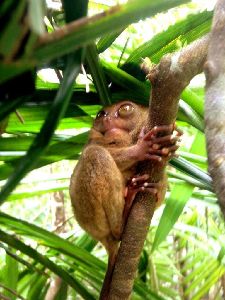 petit tarsier endémique des Visayas aux Philippines