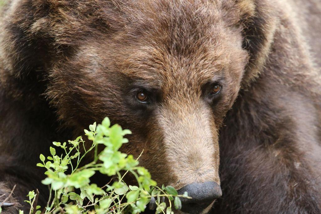 Affûts à loups, ours et gloutons