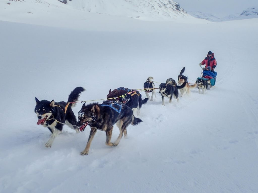 chiens de traineaux sur la neige