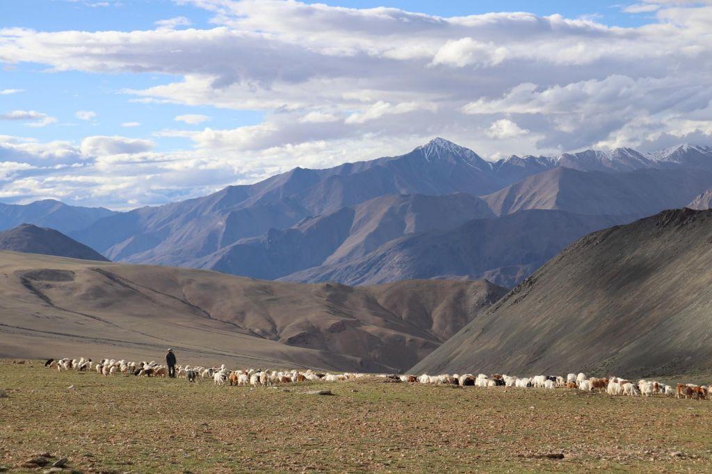 troupeau dans les paturages du Changtang