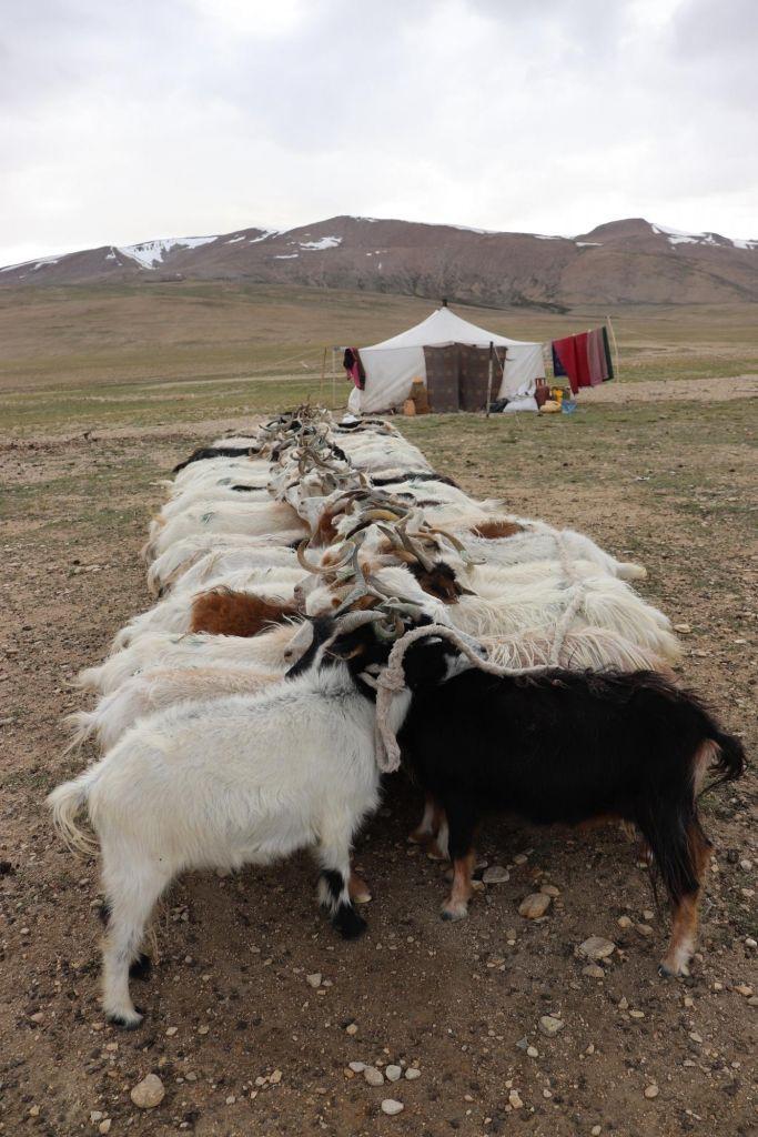 heure de la traite des chevres au Changtang