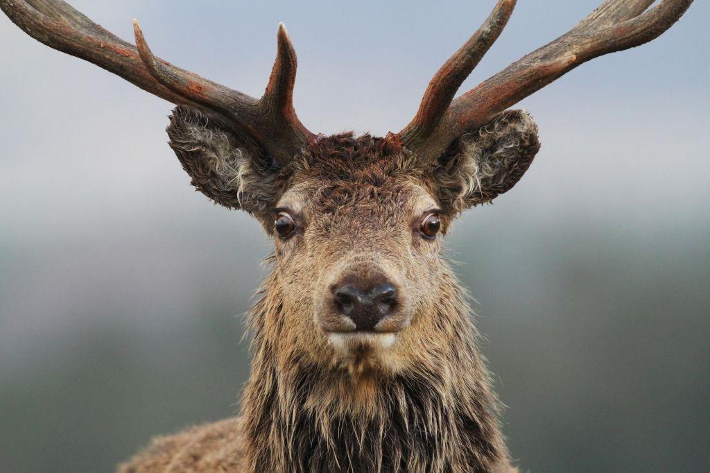 Loutre Mull Écosse