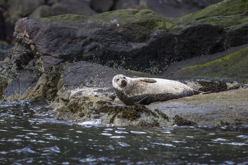 Phoque veau-marin Loch Coruisk Misty Isle Ecosse