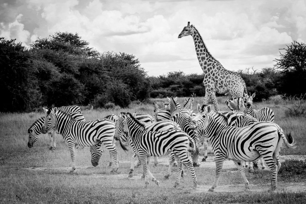 photo en noir et blanc avec girafes et zèbres
